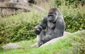 Coronavirus infects Gorillas at Atlanta zoo